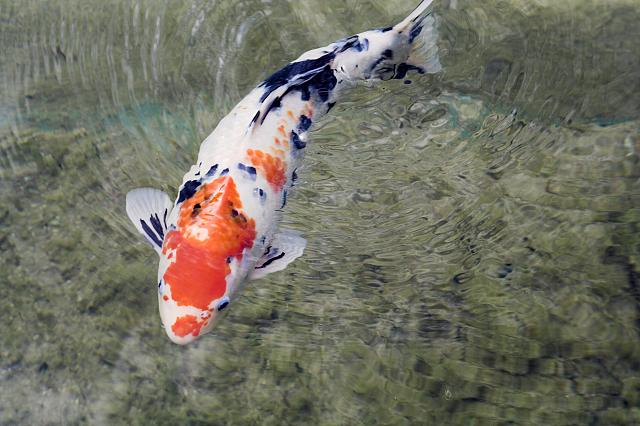 Fische tauros diagnostik for Welche fische passen zu kois